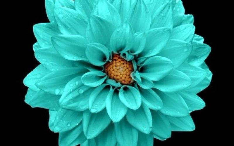turquoise dahlia